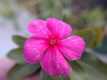 Closeup Shot Of A Beautiful Pink Busy Lizzie Flower