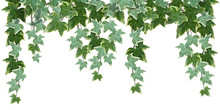 Common Ivy Vine On White Backg...