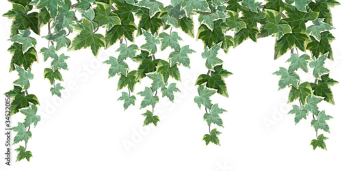 Photo Common ivy vine on white background vector illustration