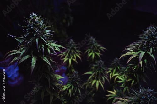 selective focus shot of green Original Amnesias on a dark background Canvas Print