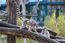 Family Of Ring-tailed Lemurs W...