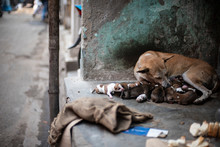 An Indian Street Dog Feeding H...