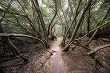 Dirt Pathway Through Forest Woods Of Mysterious Spooky Leaning Bare Trees