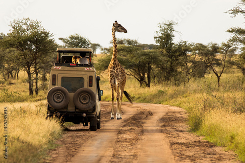 Giraffe with trees in background during sunset safari in Serengeti National Park, Tanzania. Wild nature of Africa. Safari car in the road.