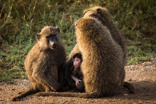 Baboons Monkey Family On The F...