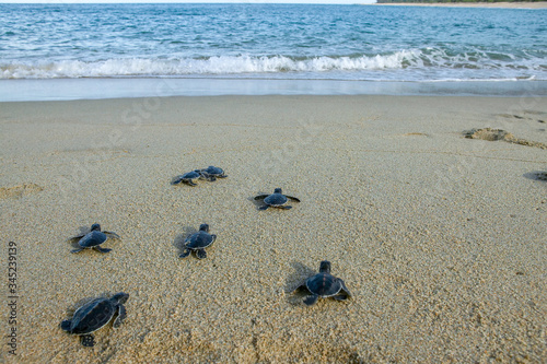 Valokuvatapetti Group of baby sea turtle making their first step into ocean