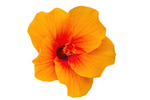 Macro Of Orange China Rose Flower (Chinese Hibiscus, Hibiscus Rosa-sinensis , Hawaiian Hibiscus , Shoe Flower ) Isolated On White.Saved With Clipping Path.