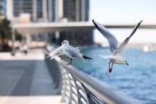 Seagulls Sit On The Parapet Ag...