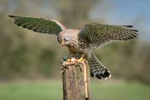 A Captive Kestrel, Falco Tinnu...