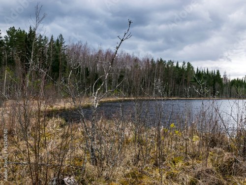 Fotografija landscape with a swampy lake shore, a lot of rotten and old trees, deformed swam
