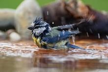 Blue Tit (Parus Caeruleus) Bat...