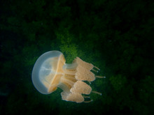 The Spotted Jelly (Mastigias Papua), Lagoon Jelly, Golden Medusa, Or Papuan Jellyfish Is Non-stinging Jellyfish At The Kakaban Lake, Kakaban, Derawan Islands, Indonesia. Underwater Photography.