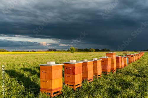 Row of Beehives Outdoor near Rapeseed or Canola Plantation Canvas Print