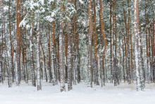 Ośnieżone Drzewa W Lesie