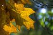 prześwitujący żółty liść dębu