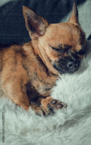 Brown chihuahua lying on a white cushion and enjoying the first rays of sun. © Mlle Sonyah