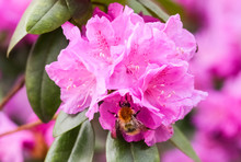 Pink Rhododendron Blossoms With A Beautiful Blur. Rhododendron Hybridum.