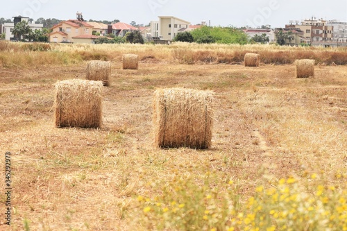 Wheat field. Background of ripening ears of wheat Tablou Canvas