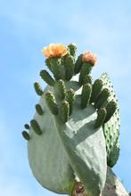 Big Orange Flowering Cactus Background