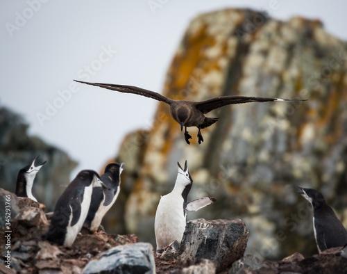 Selective focus shot of a penguin feeding her babies in Antarctica Canvas Print