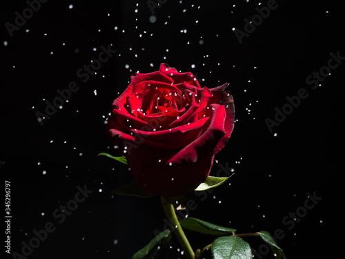 Fototapety, obrazy: red rose on black background