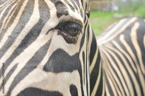 Fototapety, obrazy: zebra and his sad look