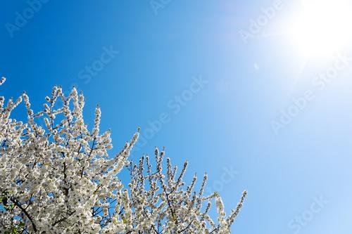 Fotografie, Obraz Krone eines Kirschbaums in seiner Blüte im Sonnenlicht