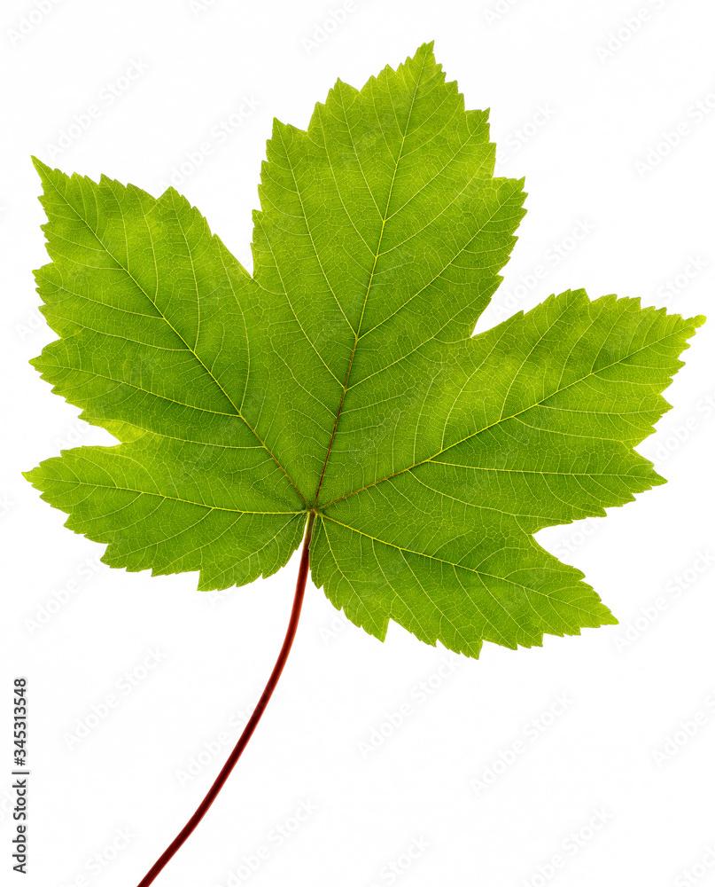 Fototapeta Green maple leaf isolated on white