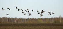Migratory Birds Flock Of Geese...