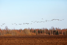 Migratory Birds Flock Of Geese In The Field, Landscape Seasonal Migration Of Birds, Hunting