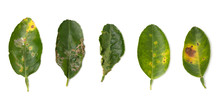 Plant Diseases ,Lime Leaf Dama...