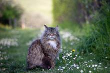 Magnificent Norwegian Long Fur...