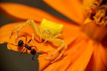 A Macro Shot Of A Crab Spider ...