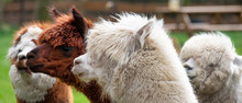Four Alpacas, In Panorama, A White Alpaca In Front Of White And Brown Alpacas. Selective Focus On The Head Of The White Alpaca, Photo Of Heads