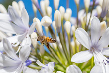 Bee Collecting Nectar From An Agapanthus Flower On A Sunny Morning