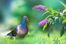 Beautiful Multi-colored Dove I...