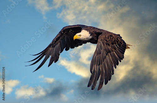 Photo Bald Eagle Soaring High