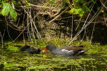 Common Gallinule Feeding Chicks