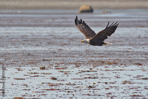 Photo Bald Eagle Alaskan Beach