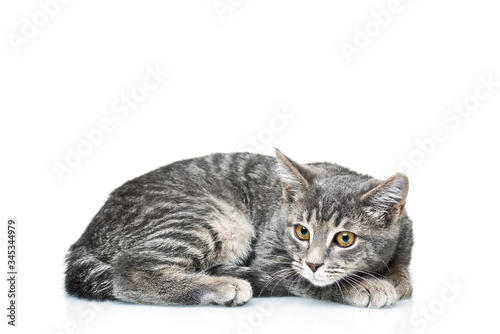 Grey smoky kitten on a white background Canvas Print