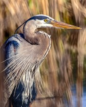 Great Blue Heron On A Pond In ...