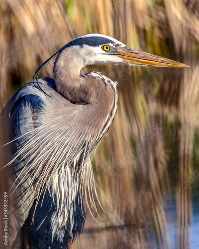 Tablou Canvas Great blue heron on a pond in Minnesota