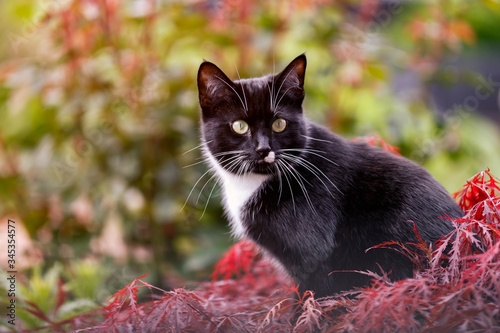 black and white cat sitting on top of japanese maple acer tree in spring garden Wallpaper Mural