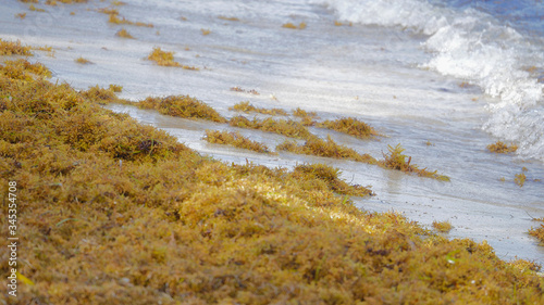 Sargassum seaweed invades the beach Slika na platnu