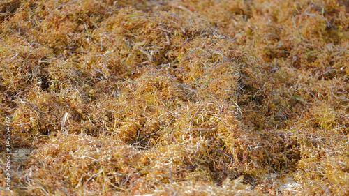 Fotografija Sargassum seaweed invades the beach