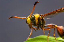 Close Up Of The Paper Wasp On The Green Leaf In The Deep Forrest.  Front View Of The Yellow Insect On Green Leave In The Garden.
