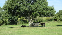 Herd Of Cows Under A Tree In S...