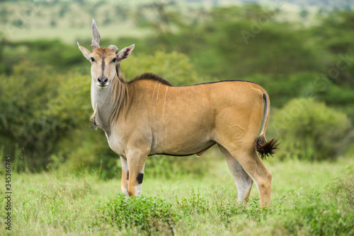 Fotografija Bull common eland (Taurotragus oryx) with deformed horn standing in open grassla