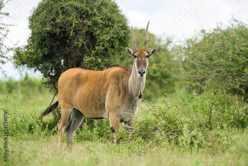 Bull common eland (Taurotragus oryx) with deformed horn standing in open grassla Slika na platnu