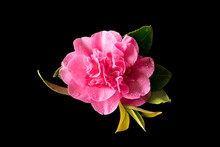 Camellia Flower On A Pure Blac...